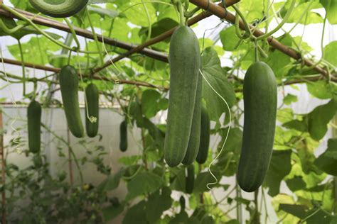 cucumber container gardening growing cucumbers in container gardens