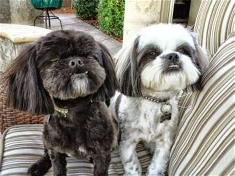 housebreaking a shih tzu shih tzu house step by step finding success