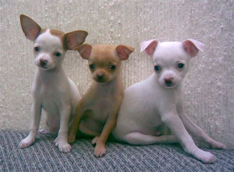 images of chihuahua puppies chihuahua pictures photograph file chihuahuas jpg wikimedia