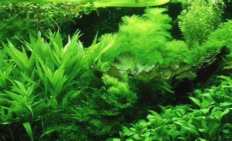 dutch  intricate beauty  dutch style aquariums