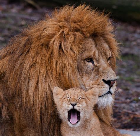 imagenes tiernas de leones free image bank amor de padre pap 225 le 243 n el peque 241 o