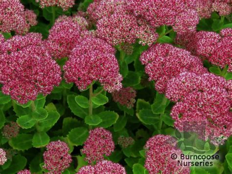 Types Of Garden Snails - sedum spectabile autumn joy from burncoose nurseries