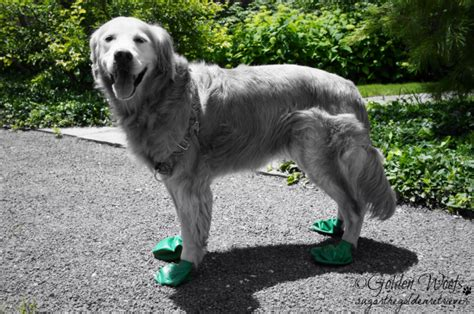 green golden retriever summer green on black n white sunday golden woofs