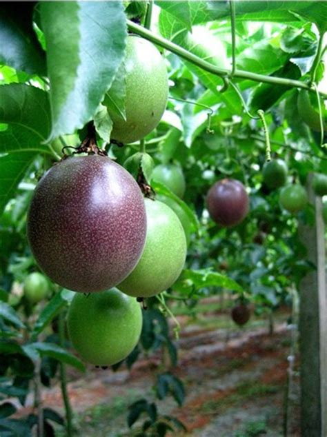 perennial fruit trees aliexpress buy garden bonsai perennial bonsai fruit