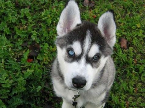 husky puppy facts siberian husky facts and tips husky puppy