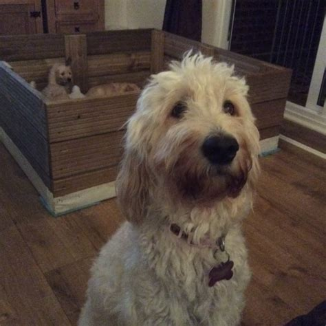 goldendoodle puppies for sale in kent f1b standard gooldendoodles rochester kent pets4homes