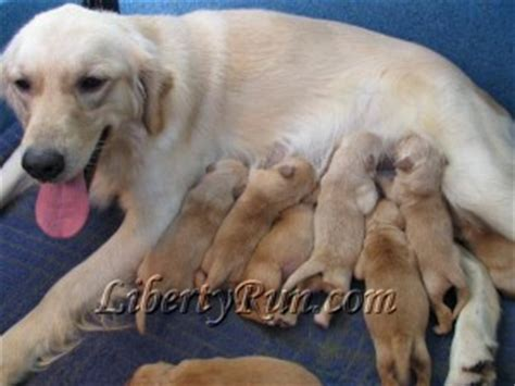golden retriever breeder reviews health clearances for golden retrievers liberty run