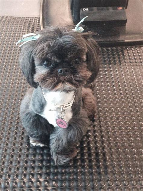 boy names for shih tzu 1020 best images about shih tzu names for boys and on shih pets and