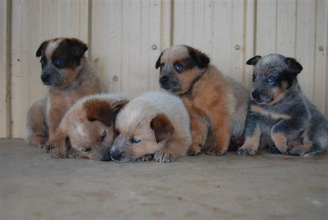 australian cattle puppies for sale australian cattle puppies sydney dogs for sale puppies for sale sydney 455495