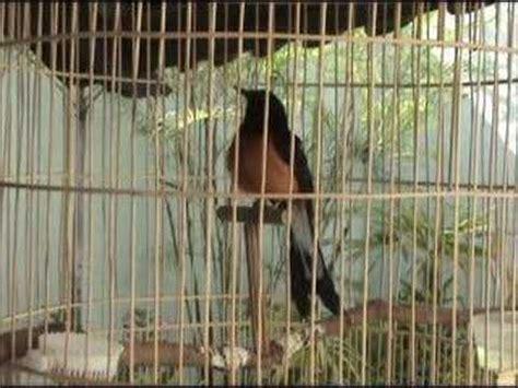 Kerudung Lovebird burung suara burung cililin