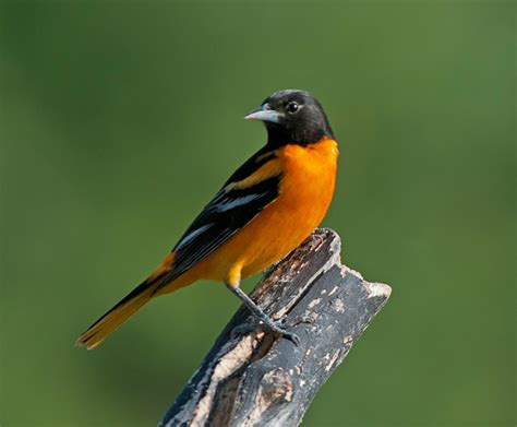 picture of a oriole bird baltimore oriole philip schwarz photography