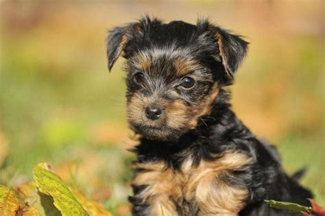 yorkie labor and delivery 33 best images about airedale terriers on brooches keep calm and airedale