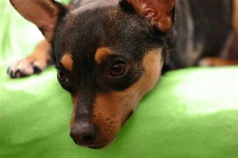 alimentazione pinscher nano pinscer nano carattere cuccioli e alimentazione