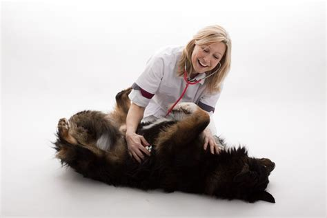 regurgitation in dogs vomiting and regurgitation in dogs and puppies pets4homes