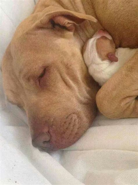 pitbull newborn puppies sweet nose pit bull cuddling with newborn puppy
