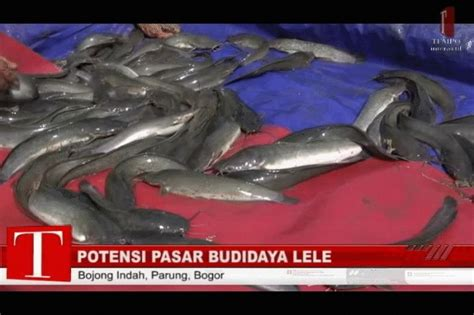 Pakan Ikan Lele Dari Kotoran Ayam lele 2010 uns kembangkan pakan lele dari kotoran puyuh