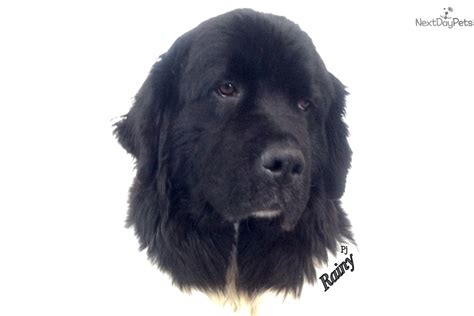 newfoundland puppies for sale ny newfoundland puppy for sale near binghamton new york dde20bc9 d3b1