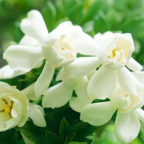 the best fragrant flowers for your garden gardenias