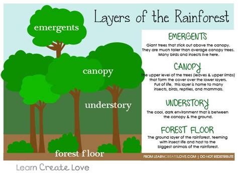 rainforest diagram layers of the rainforest printable from http
