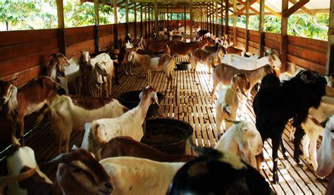Bibit Kambing Ekor Gemuk herbal gemuk untuk kambing dan domba bebeja