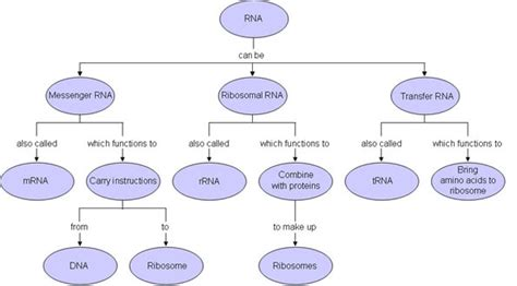 flowchart of how proteins are made in the cell molecular genetics