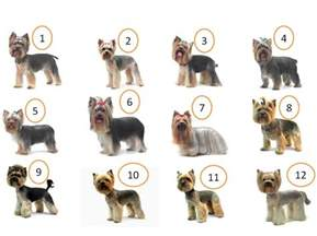 yorkie haircuts styles yorkie haircuts yorkshire terrier cuts and hairstyles yorkiemag