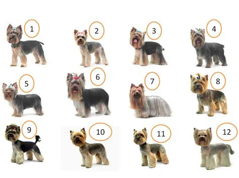 yorkie hair yorkie hair cut chart 17 best images about grooming on a 25 best