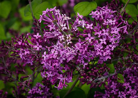 purple lilac bloomerang purple lilac for sale the tree center