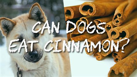 can eat cinnamon can dogs eat cinnamon pet consider