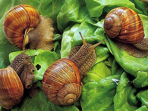 alimentazione lumache di terra parco fluviale gesso e stura altri prodotti lumache di