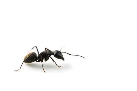 come combattere le formiche in casa formiche in casa come toglierle con rimedi naturali