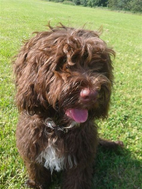 springerdoodle puppies for sale springerdoodle puppies bradford west pets4homes