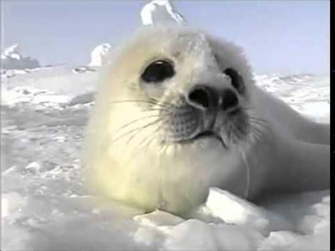 Seal Pop Seal Jus harp seal pup birth only just enjoy friendsforseals org