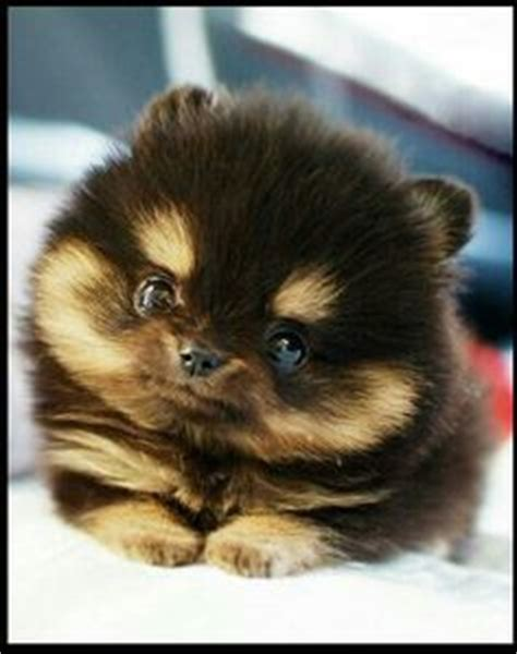 black and brown pomeranian puppies black and brown teacup pomeranian puppies breeds picture