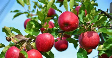 apfelbaum garten apfelbaum kaufen in 6 schritten zur idealen sorte mein