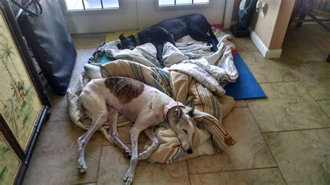 45 Mph Potato by 45 Mph Potato Greyhound Adoptions Inc Petfinder