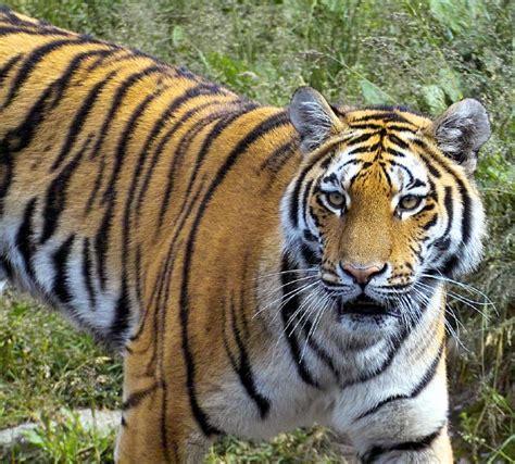 tiger tiger 28 images tiger kfen bilder tiger kfenbild