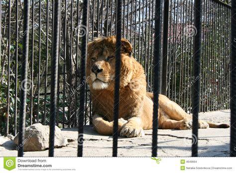 imagenes de leones en zoologico le 243 n en parque zool 243 gico imagenes de archivo imagen 4649664