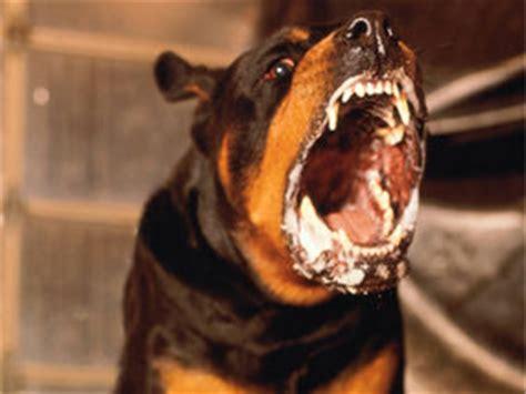 killer rottweiler no exercise turned into toddler killer uk news express co uk