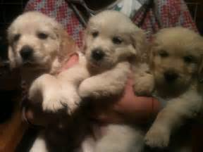 Golden retriever puppies for sale thetford norfolk pets4homes