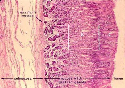 cross section of stomach siu som histology gi
