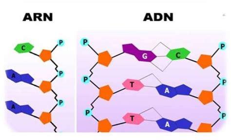 cadenas adn y arn cuadros comparativos entre arn y adn cuadro comparativo