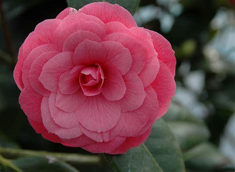Rose Flower Images by April Kiss Camellia Oregon State Univ Landscape Plants