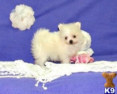 teacup pomeranians for sale in ohio 141 best images about teacup pomeranian puppies for sale on puppys tea
