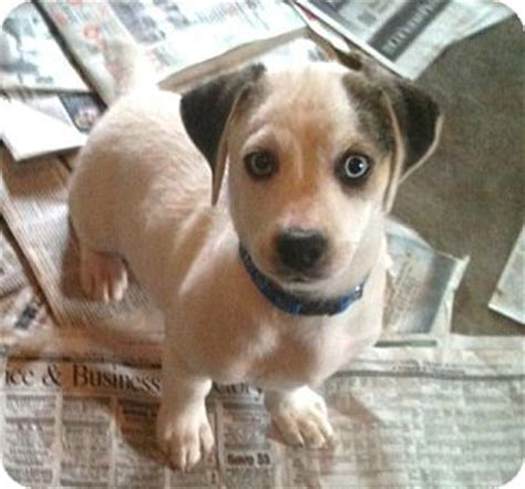 poodle rescue evansville indiana image gallery hound mix puppies