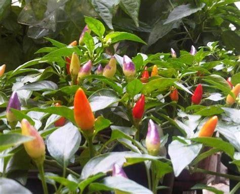Jual Bibit Cabe Bolivian Rainbow bibit benih centennial rainbow jual tanaman hias