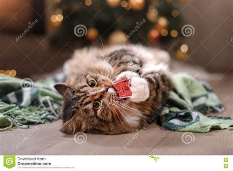 tabby and happy cat season 2017 new year