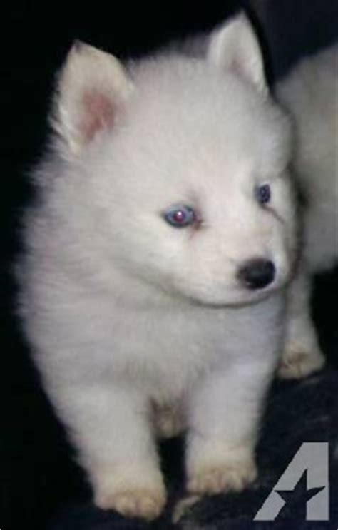 husky puppies for sale in florida mini siberian husky hybrid puppies for sale in lake wales florida classified