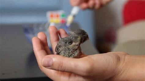 how to feed a baby bird youtube