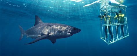 great white shark dive shark cage diving south tourism
